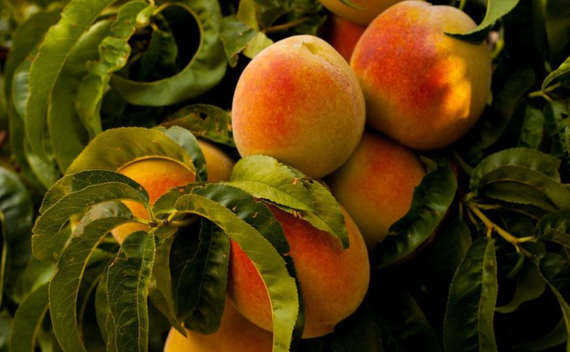 The Peach Comes With a Pit – how the curse is the cure for ingratitude